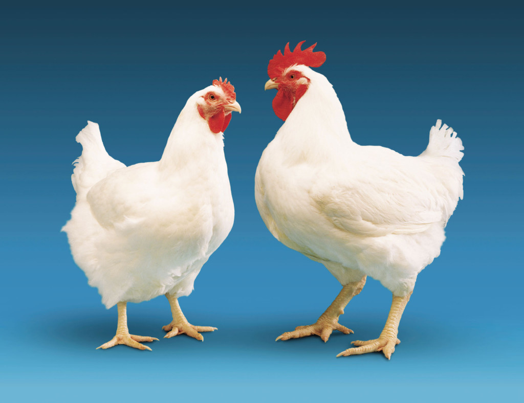 Chickens are allowed to mate naturally and independently – creating the next generation of pureline breeding stock that are used to start the process all over again.